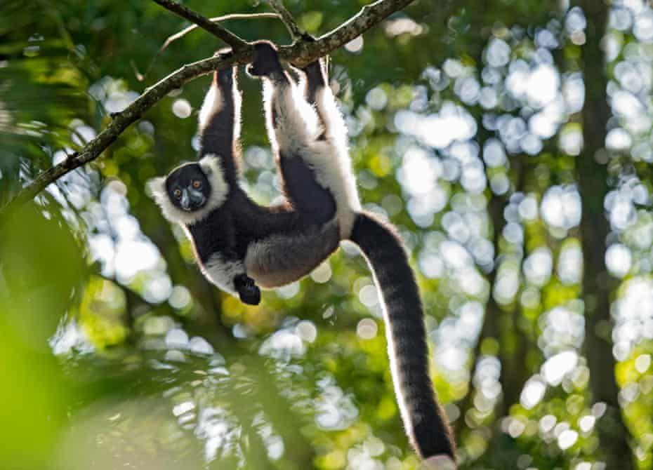 World Lemur Day a photo essay by Bristol Zoological Society