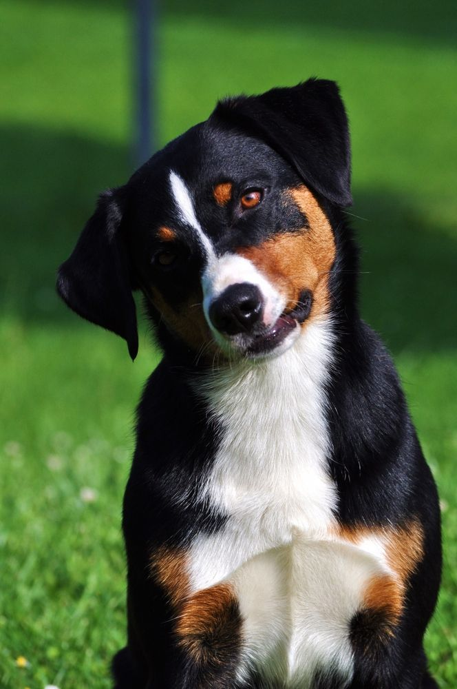 Appenzeller Sennenhund 8 Monate Sennenhund Appenzeller Hund Hunderassen