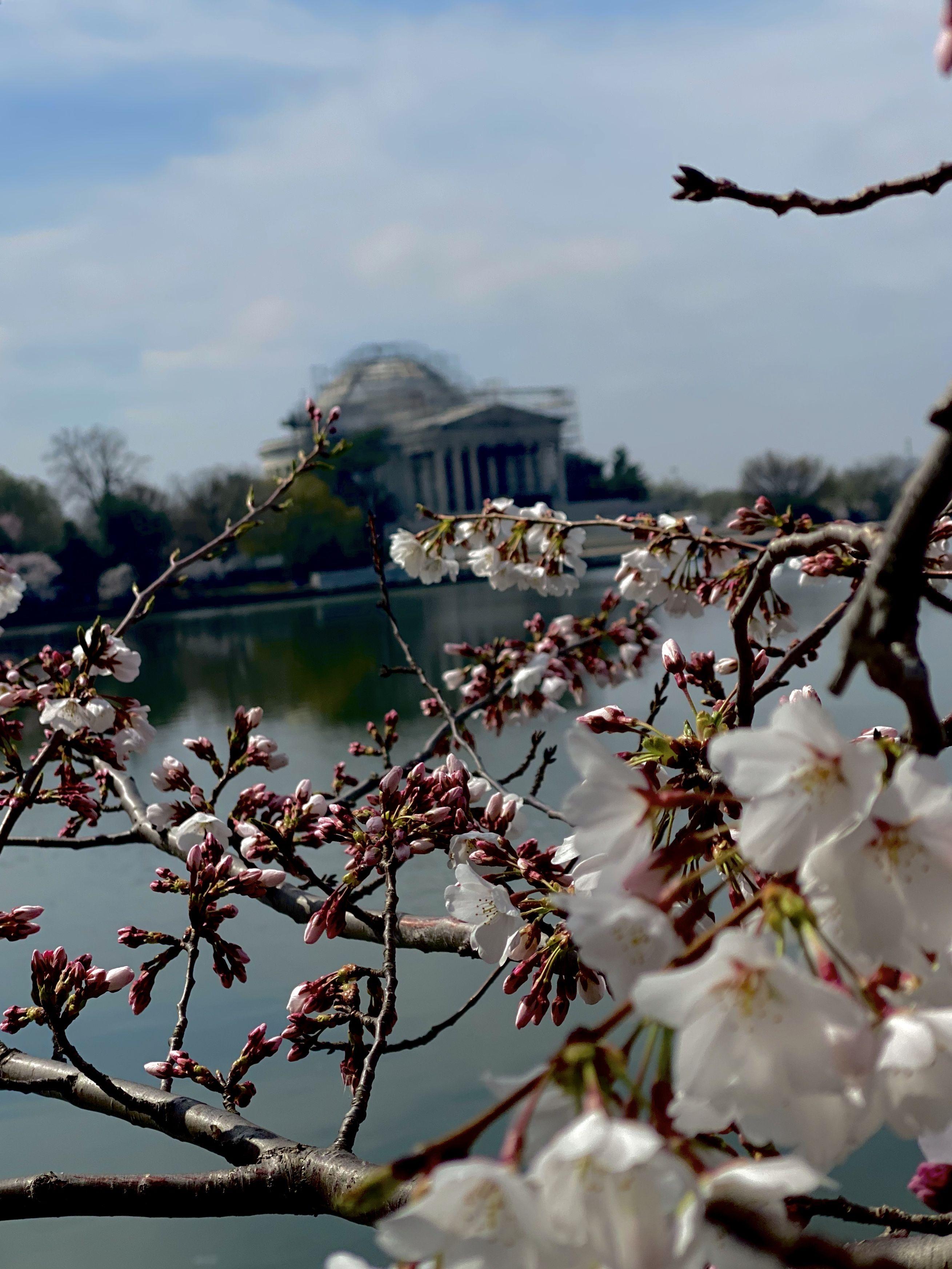 Cherry Blossoms 2020 Washington Dc In 2020 Washington Dc Visit Dc Washington