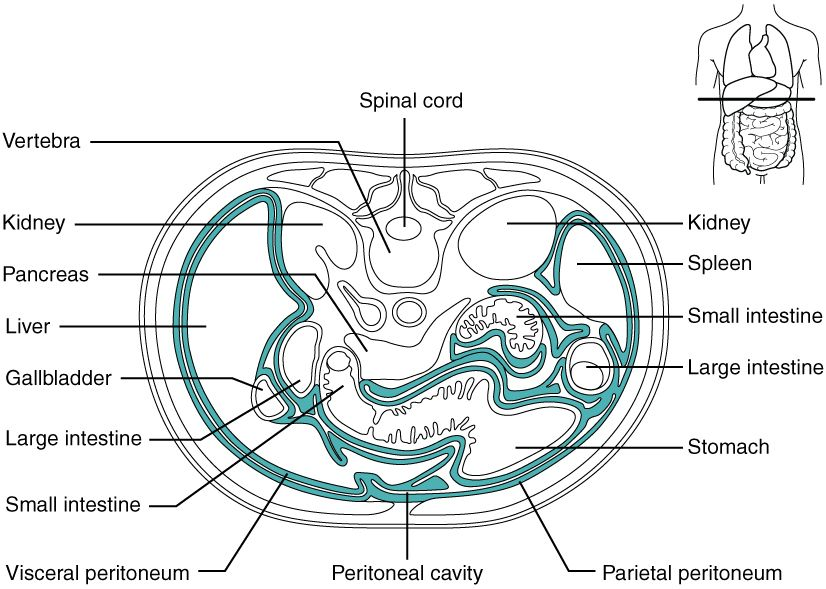 WK 1 PERITONEUM This diagram shows the cross section of the ...