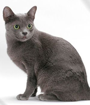 Korat Price Personality Lifespan Korat Cat Korat All Cat Breeds