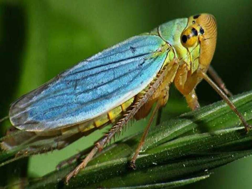 Bir ağustos böceği (cicadella veridis), türdeşleri gibi çok gürültücü bir böcektir.