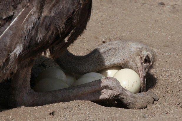 النعام اكبر طيور العالم كل ماتود معرفته حولها موضوع شامل طيور العرب Ostriches Unbelievable Facts Bird Species