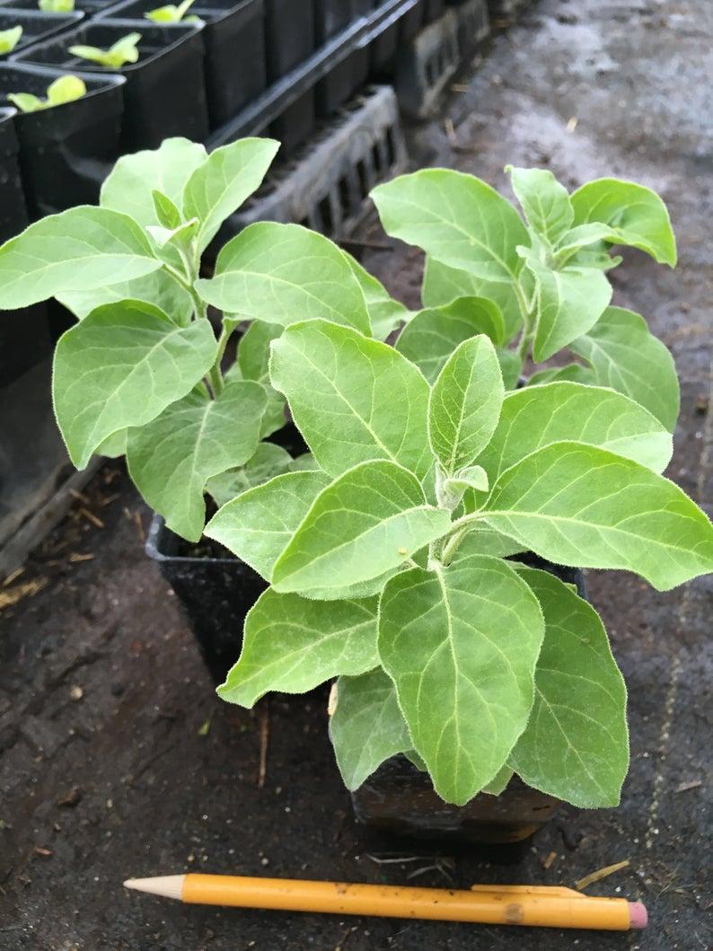 Ashwagandha Plant African Ashwagandha 2.5 pots | Etsy ...