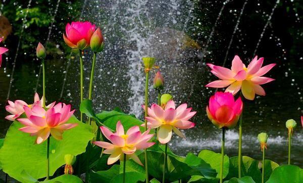 Gee Enne On Twitter Lotus Flower Wallpaper Lotus Flower Images Flower Wallpaper Beautiful lotus wallpaper hd