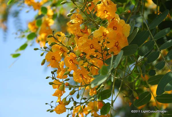 Acacia tree flower pictures 28 images acacia flower pictures acacia tree flower pictures by yellow acacia clark family acacia and yellow mightylinksfo