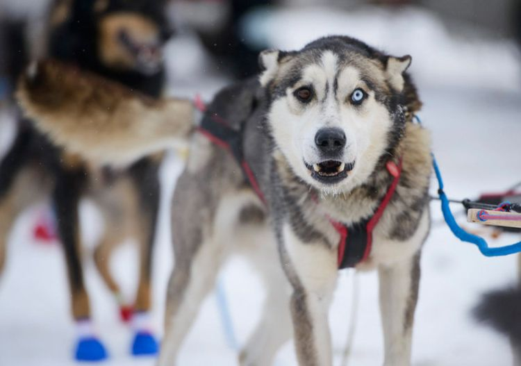 Due To Rather Warm Temperatures Alaska S Most Famous Race The