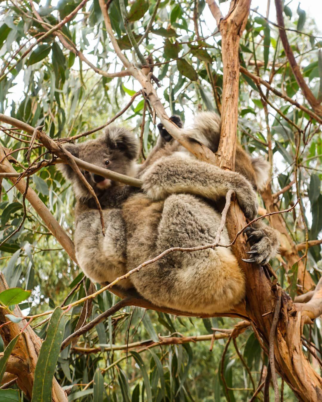 Fancy Australische Tiere Für Kinder Arbeitsblatt Adornment ...