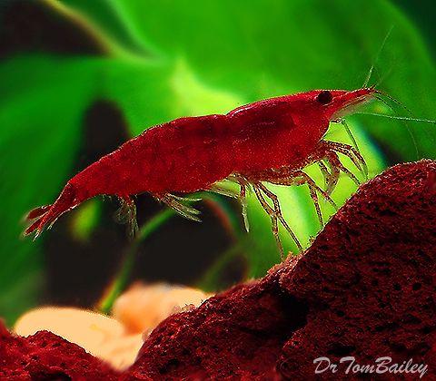 Aquarium Shrimps For Sale Tropical Fish Aquarium Tropical Freshwater Fish Aquarium Fish