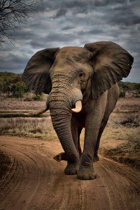 Elefant | Smini