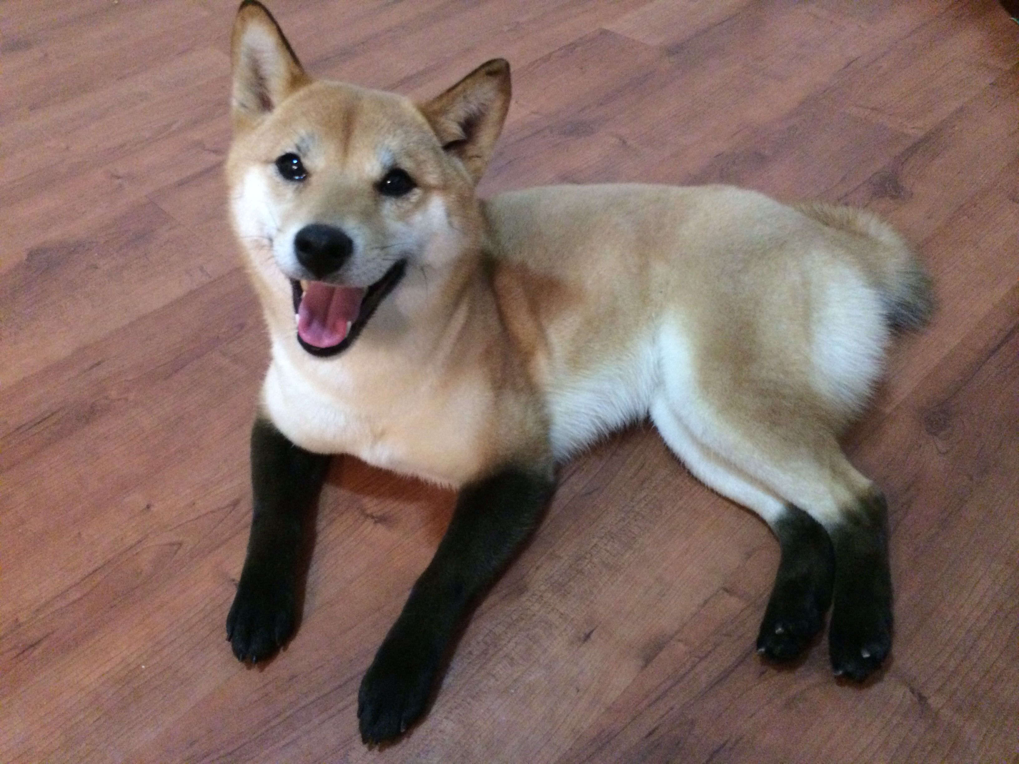 Red Fox Shiba Imgur Isn T He Beautiful Owner Dyed His Legs And Ears So He Looks Like A Fox Cross Bred With A Shiba Smiling Dogs Cute Corgi Puppy