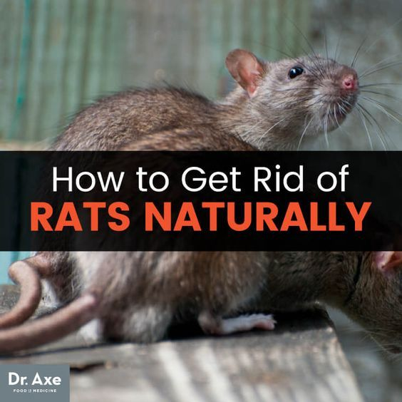 how to get rid of rats permanently