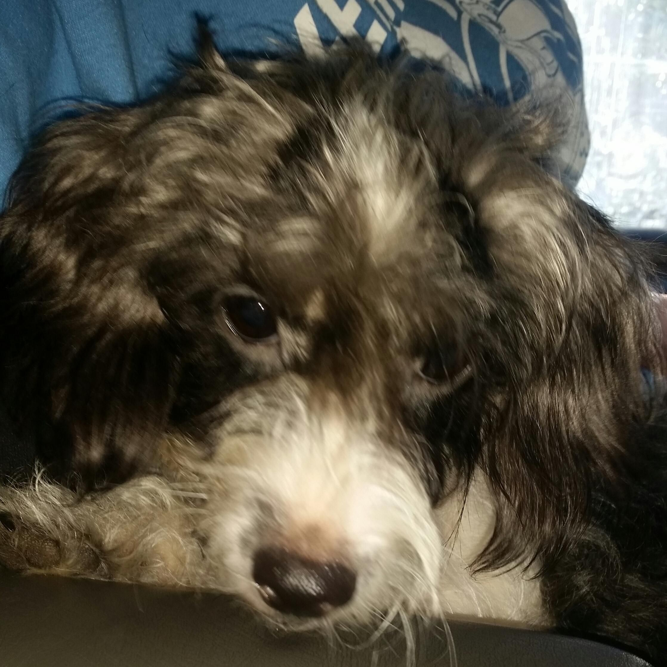 Adopt Adorable Annabelle on Terrier mix dogs, Pets, Poodle