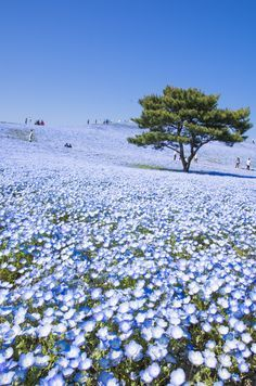in spring blow many of this famous nemophilia flowers in the Hitachi Seaside park, Hitachinaka