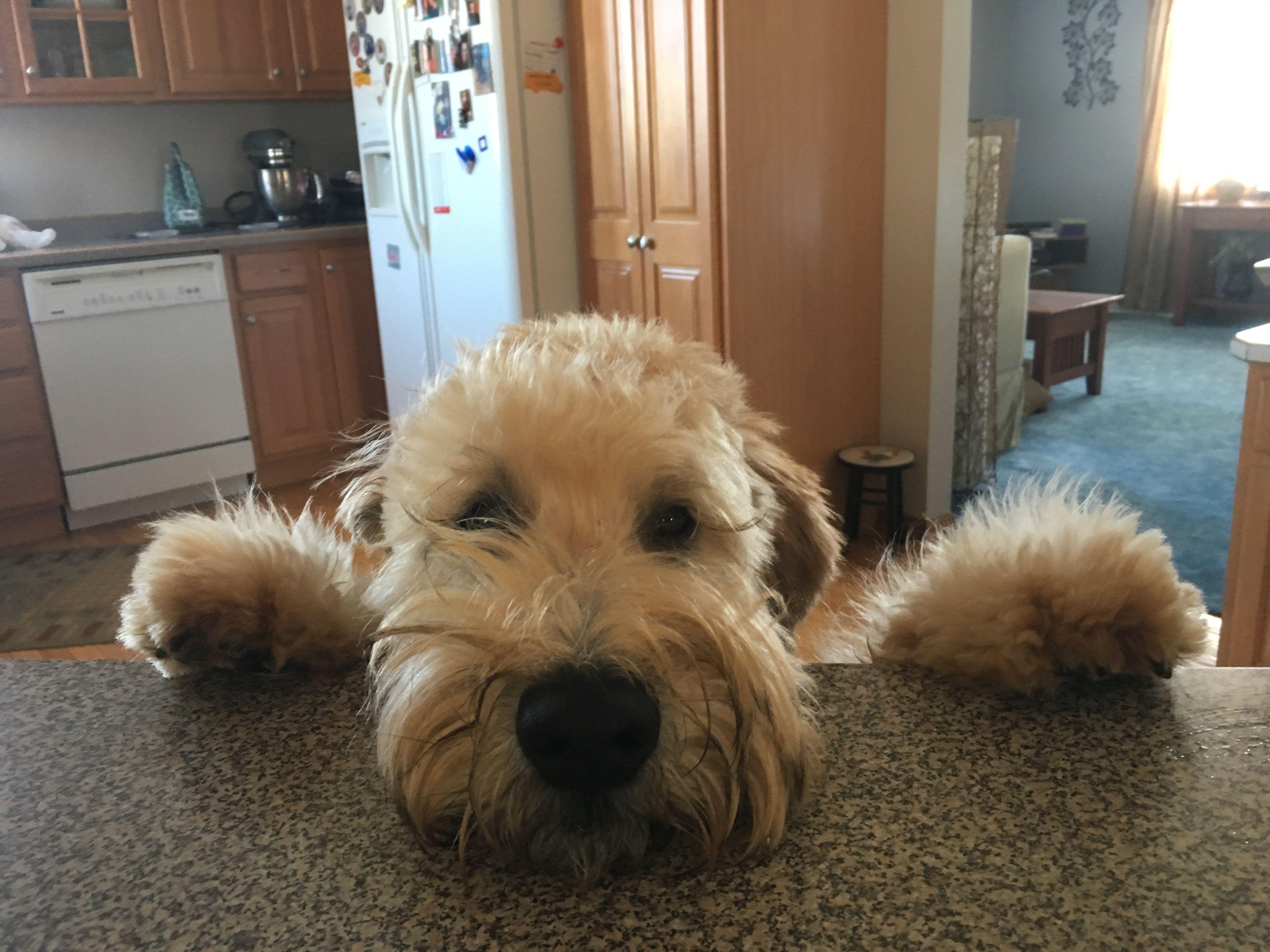 Our Wheaten Terrier Puppy Dekker Cute