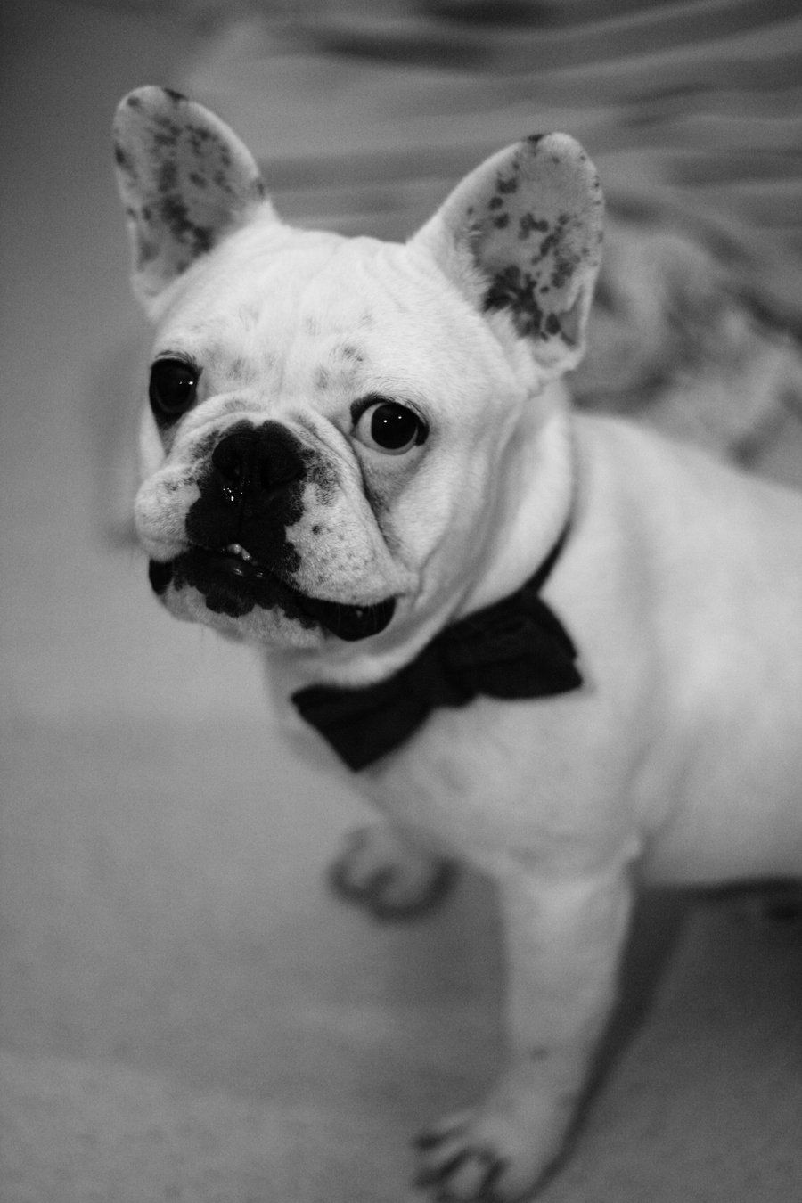 In A Bow Tie French Bulldog Bulldog Animals