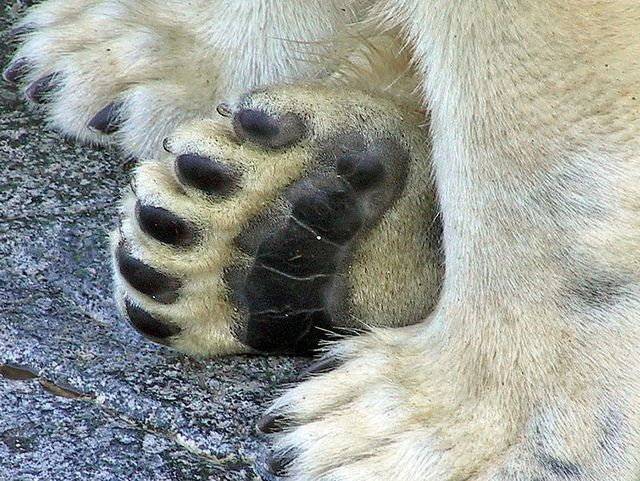 The paws of a polar bear act like snowshoes. The paws are wide and ...
