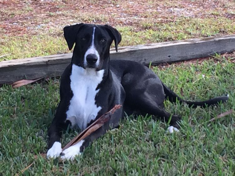 Border Collie Lab And Dane Mix Border Collie Lab Mix Pretty