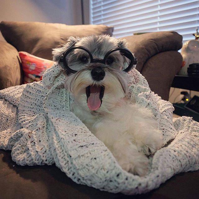 Dog Chewed Up Rug: Hooked On Schnauzers
