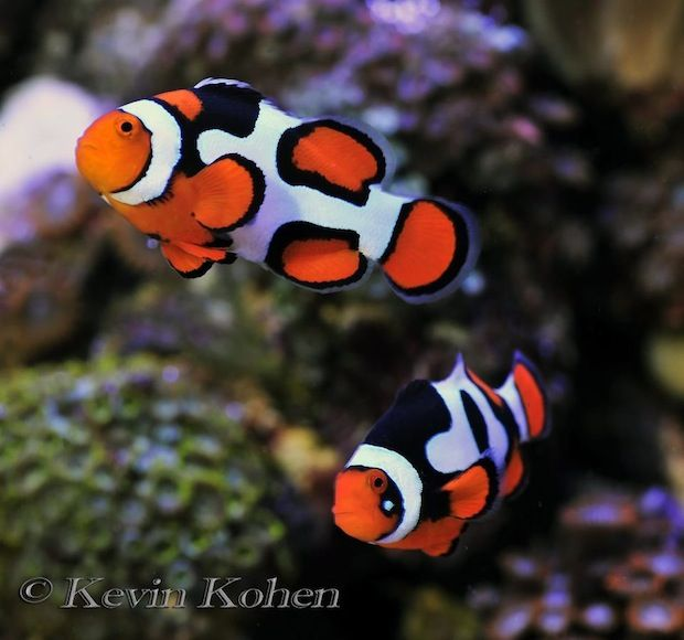 Pin By Beth Pell On Designer Clownfishes Marine Fish Clown Fish Saltwater Aquarium Fish