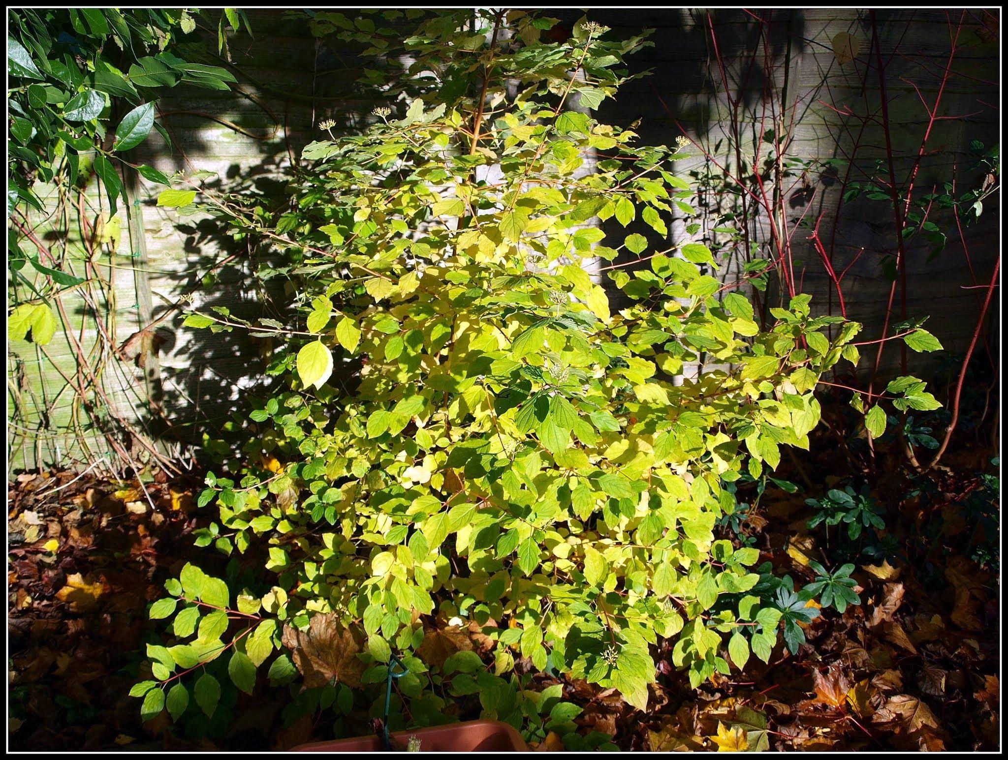 "Dogwood (Cornus) ""Midwinter Fire"" glowing in the sunshine"