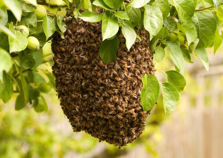 Honeybee Colony Collapse Linked to Corn Insecticide as the
