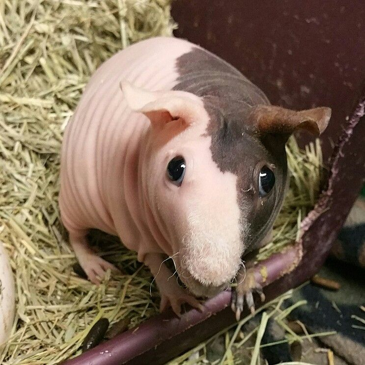 Skinny Pig The Hairless Guinea Pig - Ludwig the bald guinea pig is winning the internets hearts