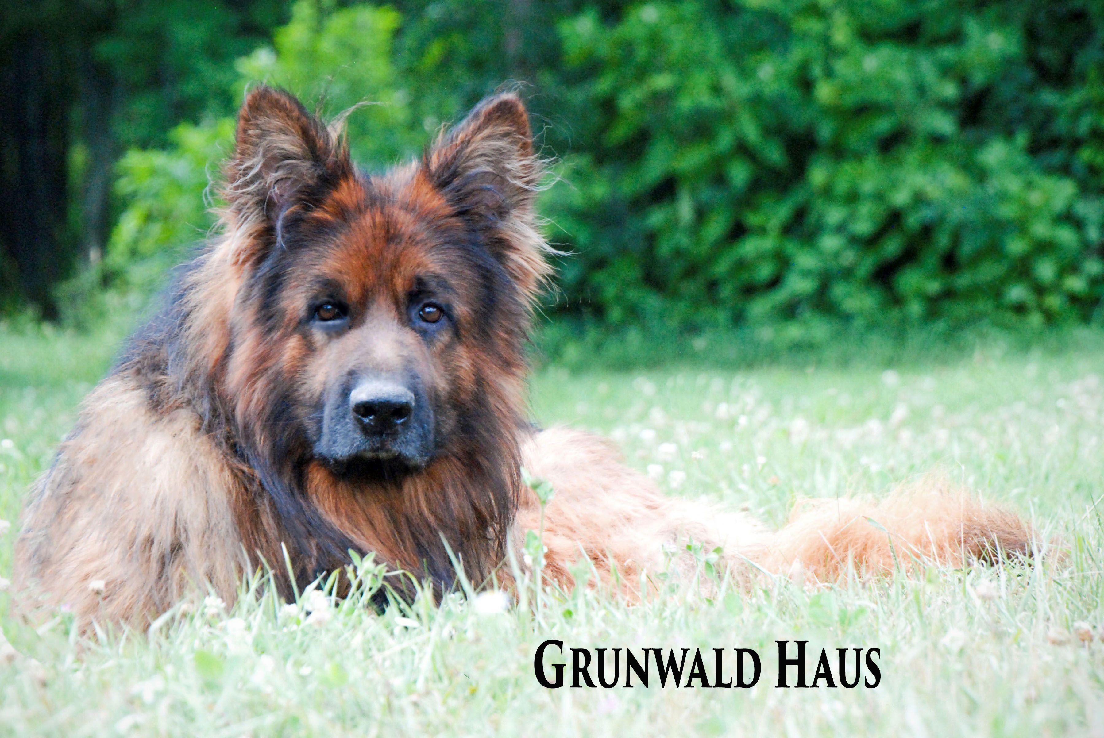 Long Coat German Shepherd Dog By Grunwald Haus Sg1 Das Awesome