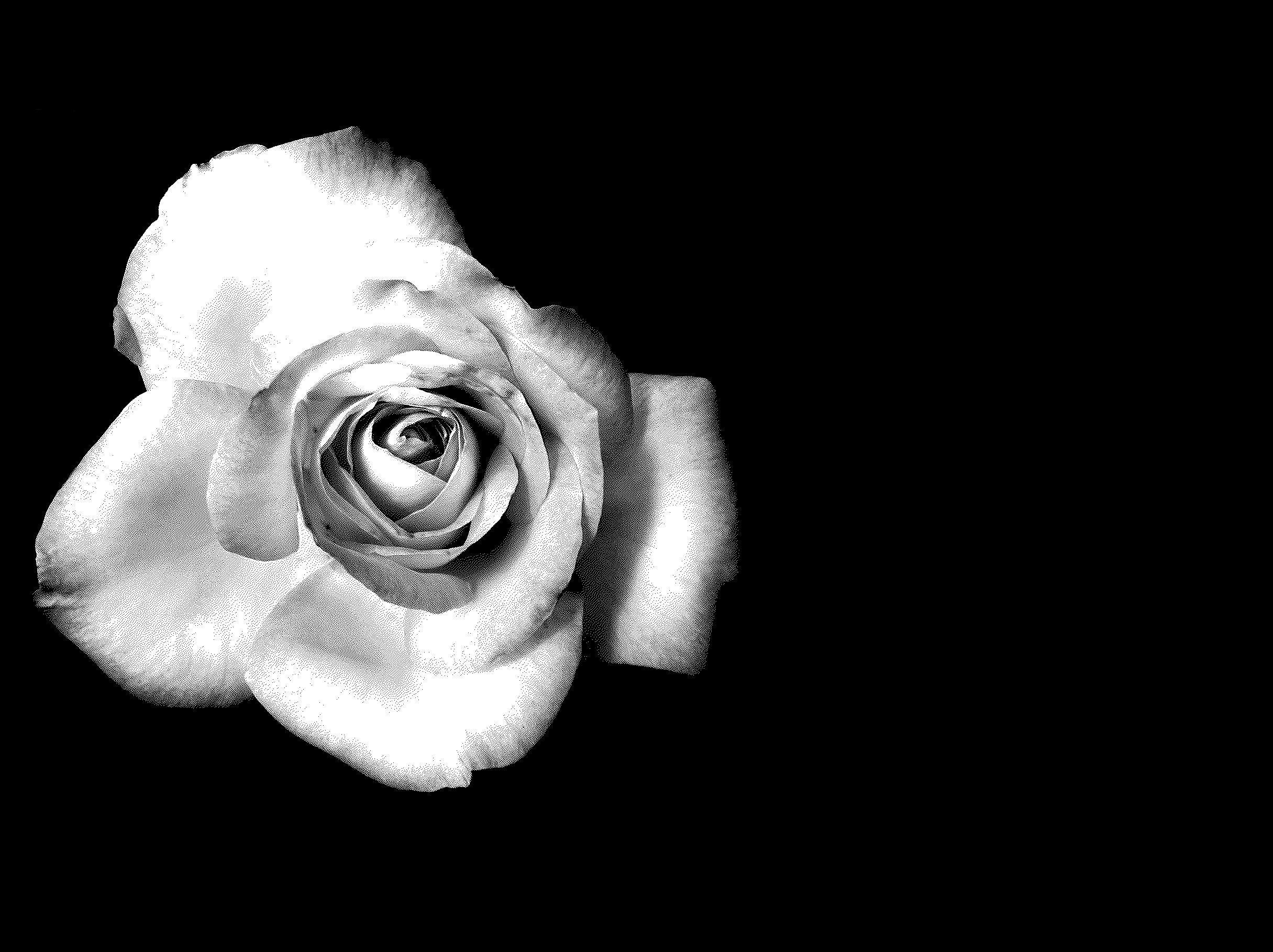 White Rose Black And White Roses Black Wallpapers Tumblr White Roses Wallpaper
