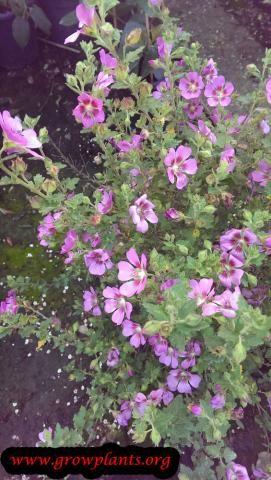 Photo of Anisodontea  flowers