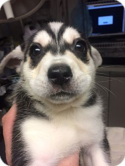 St Louis Mo Siberian Husky Shiba Inu Mix Meet Ivan A Puppy For Adoption Http Www Adoptapet Com Pet 18037443 St Husky Siberian Husky Siberian Husky Mix