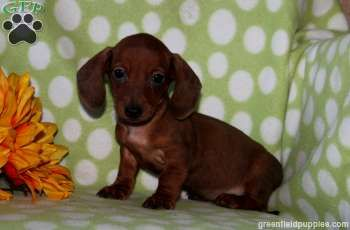 Stuart Mini Dachshund Puppy For Sale From Lititz Pa Dachshund