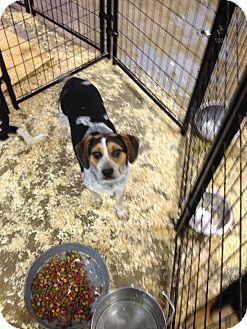 Middle Island Ny Beagle Mix Meet Bob A Dog For Adoption Http