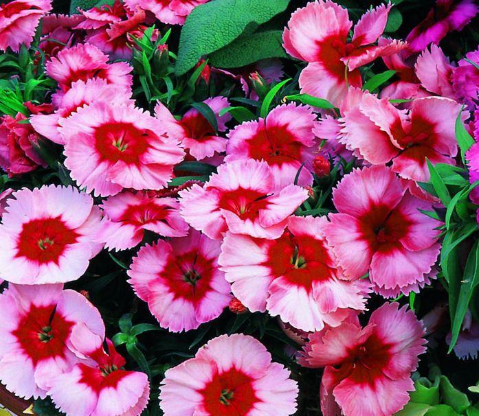 Dianthus sundae strawberry 500 bulk seeds bulk flower seed for dianthus sundae strawberry 500 bulk seeds mightylinksfo