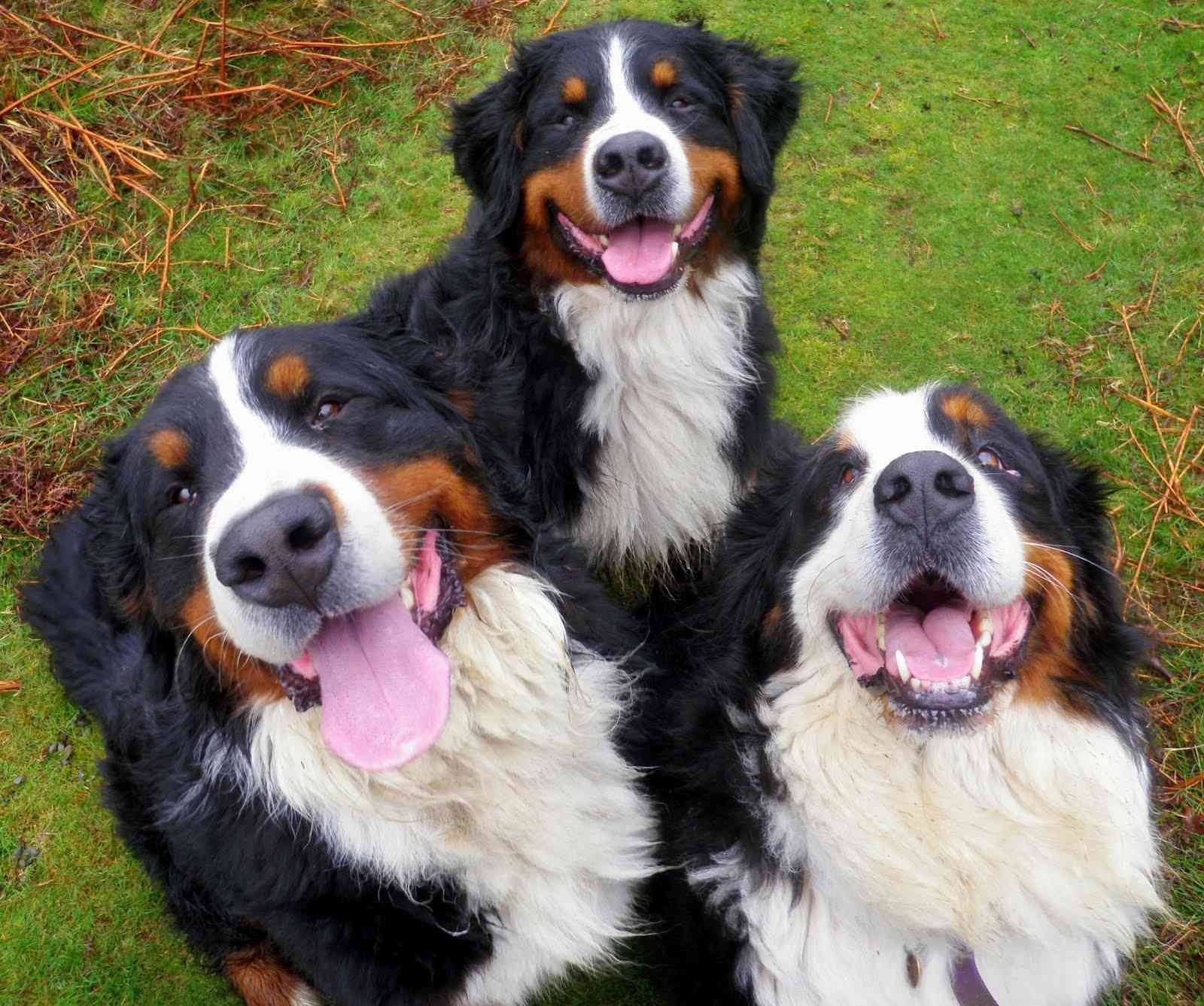 Family Makes You Smile Funnystatus Happy Dogs Bernese