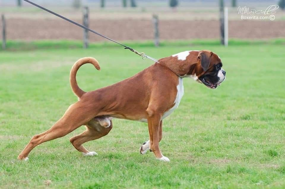 Pin By Tracey Turner On I Love Boxer Dogs In 2020 Boxer Dogs Dogs Animals And Pets