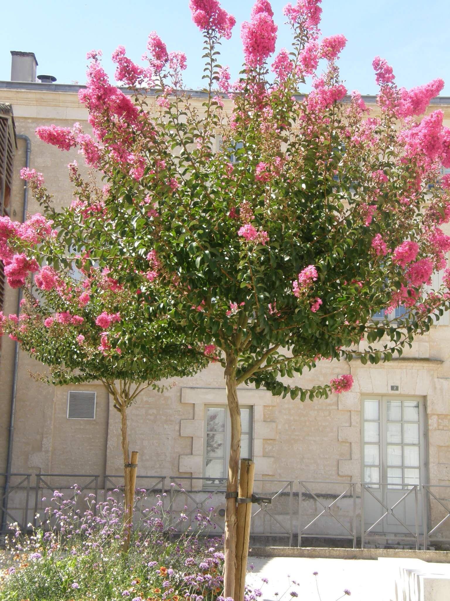 Arbuste Persistant Pour Pot petit arbre pour pot : quelques espèces | arbres en pots