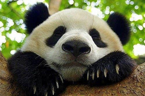 Love This Face Mit Bildern Susse Tiere Bilder Panda Bilder Panda Bar