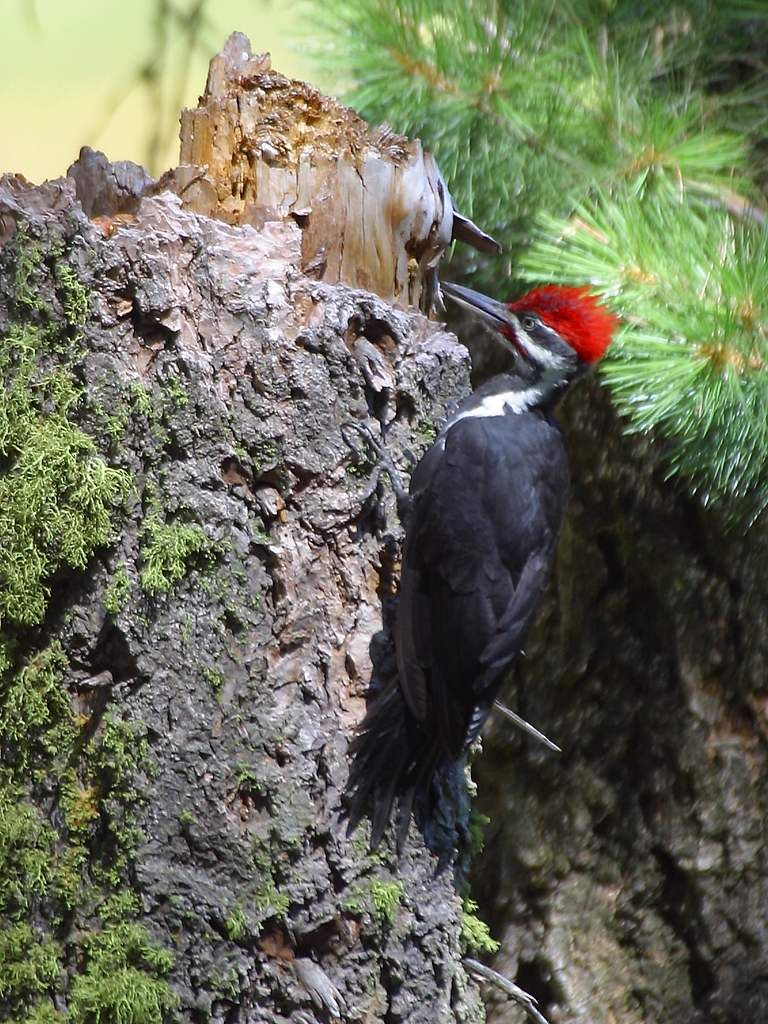 Woody Woodpecker! Saw one of these guys on Woodland