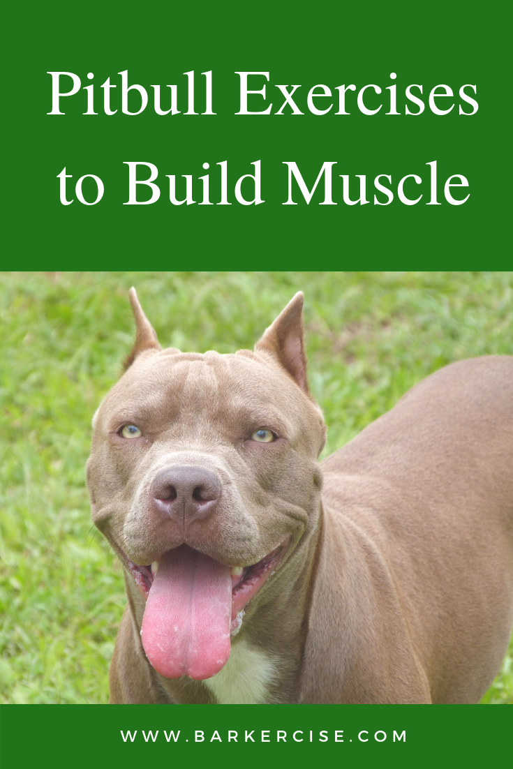 Pitbull Exercises To Build Muscle Pitbulls Pitbull Terrier Dog Exercise