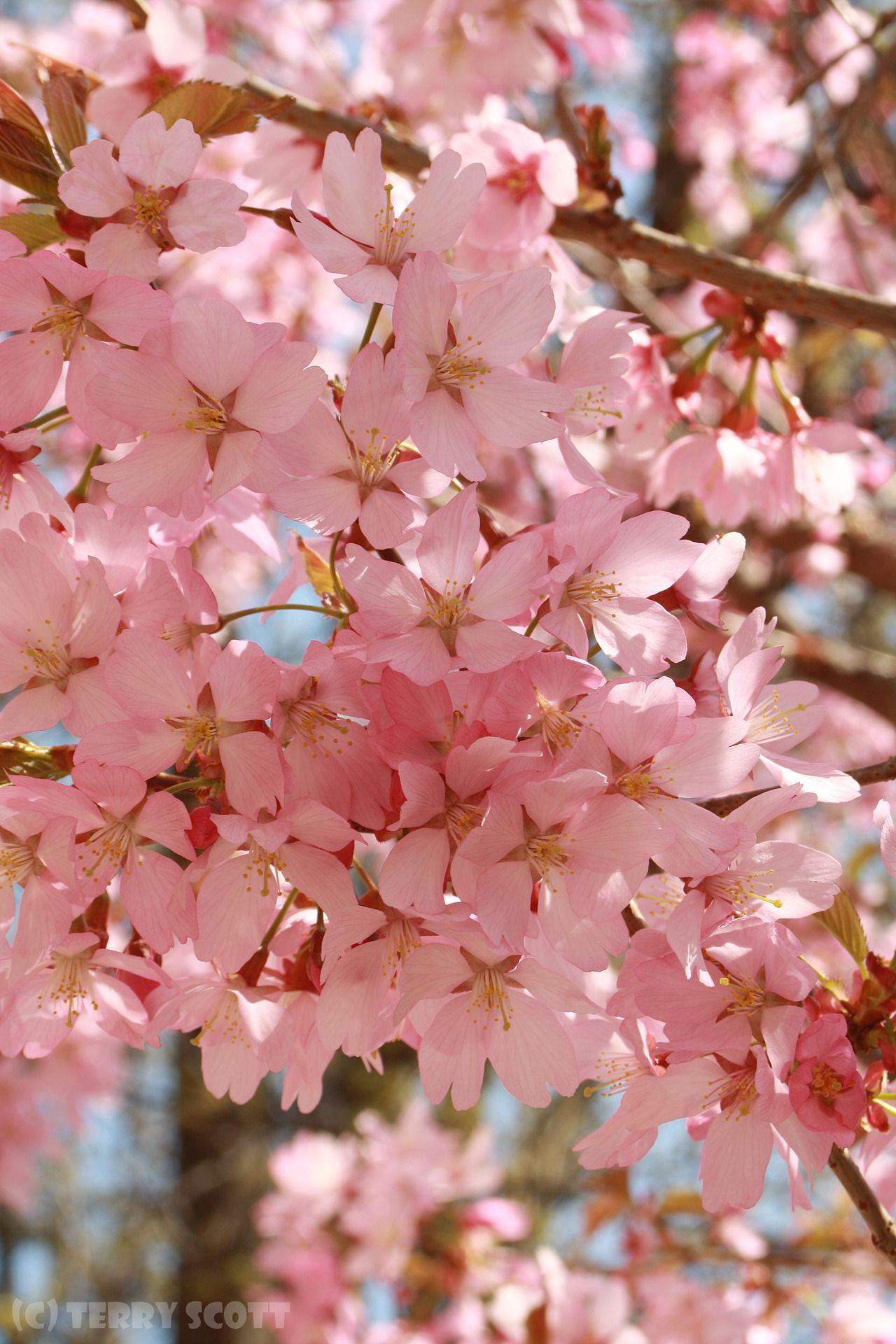 Frame Full Of Spring Flower Iphone Wallpaper Cherry Blossom Tree Flower Photos