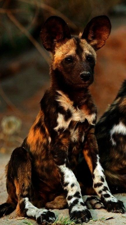 africain  wilde Tiere  Chien sauvage africain chien africain  wilde Tiere Chien sauvage africain chien africain  wilde Tiere  Chien sauvage africain chien africain  wilde...