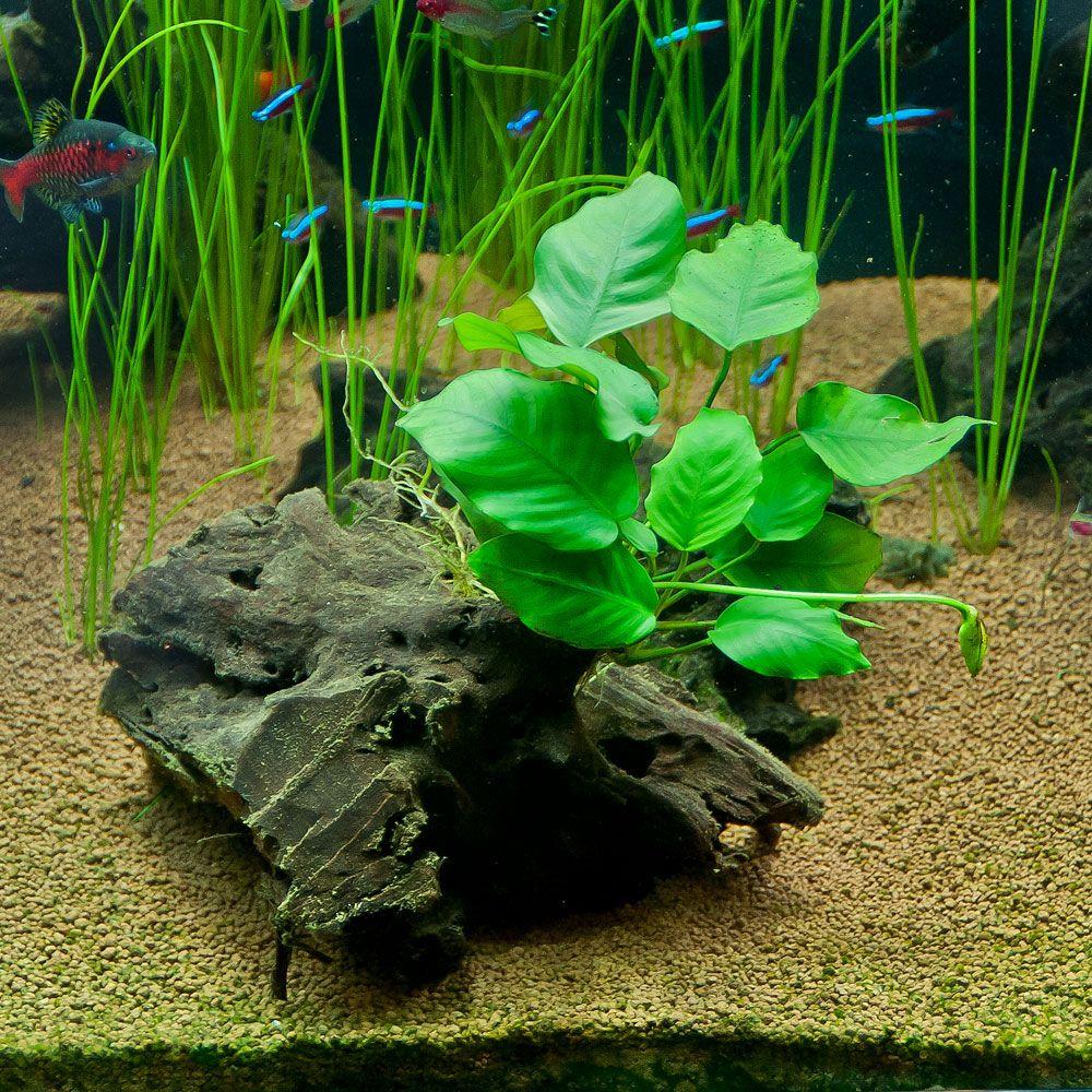 Low Light Aquarium Foreground Plants Anubias Barteri On