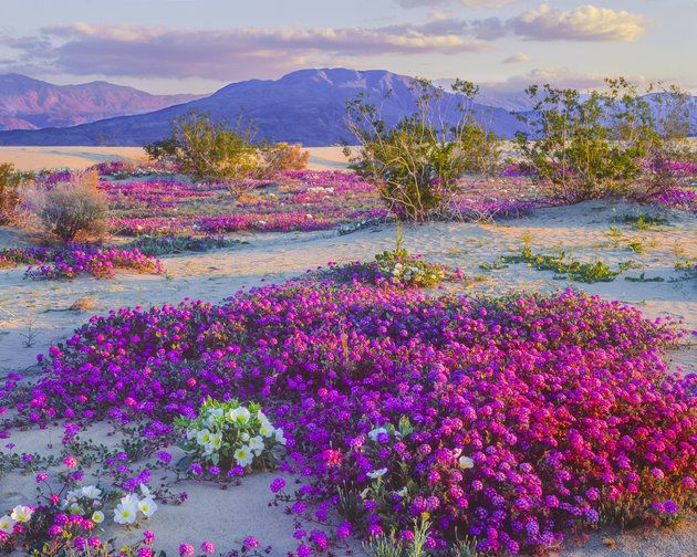 Spectacular 'Super Bloom' Is Just Days Away In This California Desert | The Huffington Post. Spring Wildflowers In Anza Borrego Desert State Park, California.
