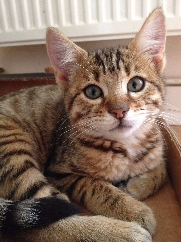 Bengal Cross Kitten Only 1 Left Bengal Cat Bengal Cat For Sale Cats