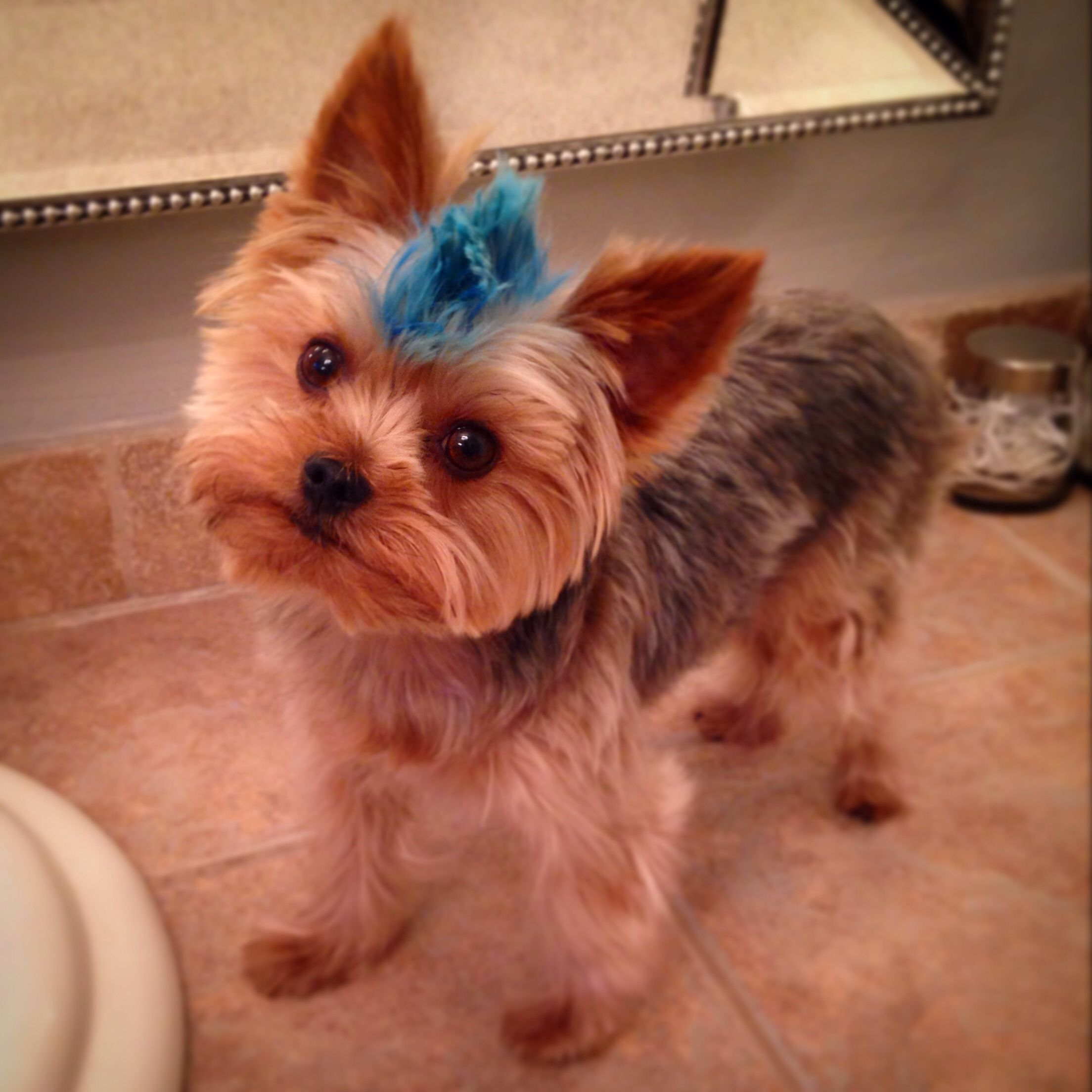 The Cutest Thing Ever So Doing This To My Buddy Ech Yorkie Yorkshire Terrier Dog Grooming