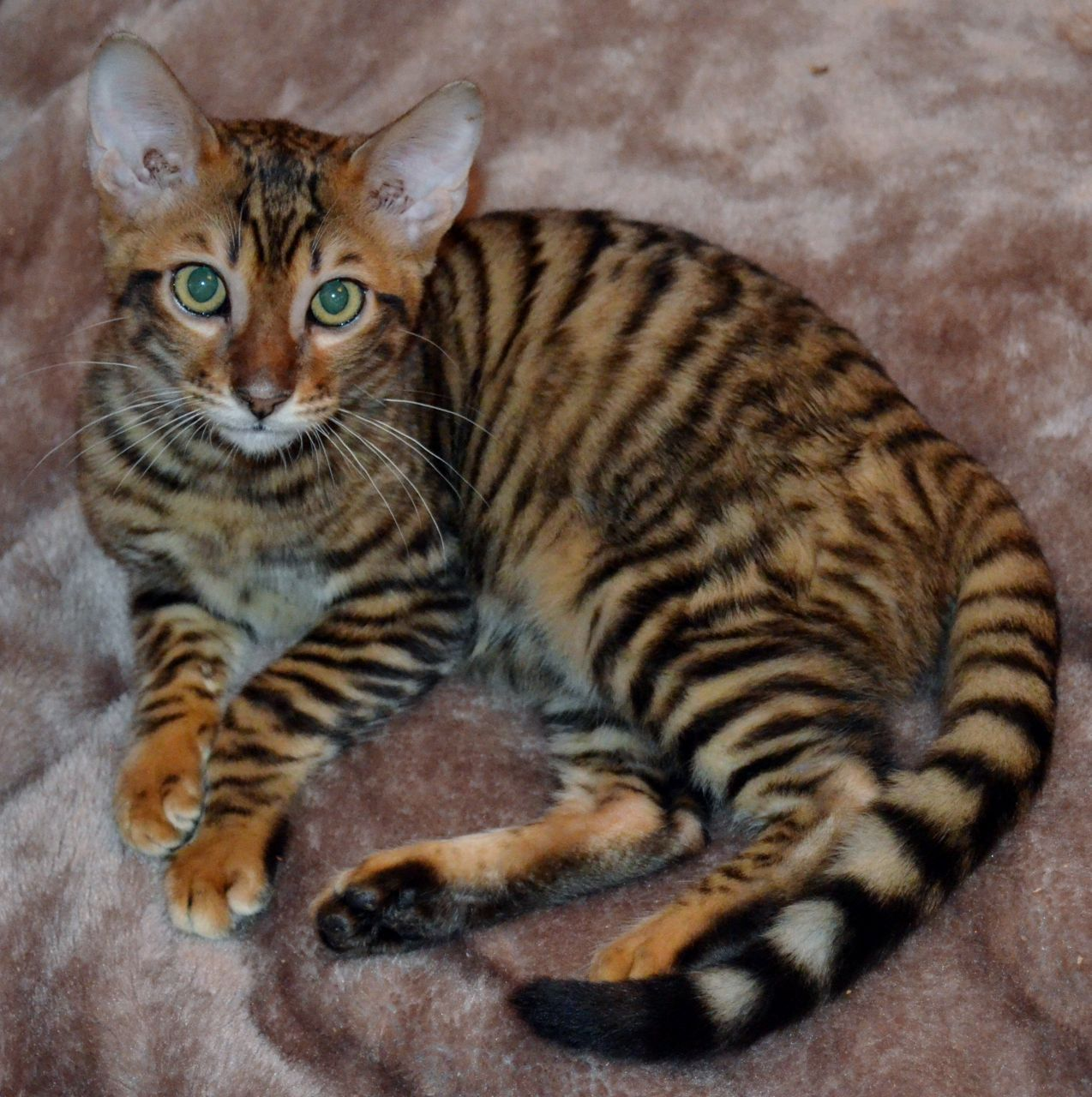 Pin by Heidi Rucki on Cat Breeds Toyger Toyger cat