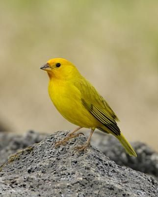 Saffron Finch Native To South America Upperparts Are Yellow