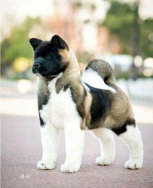 Most Inspiring Akita Chubby Adorable Dog - faa251888aa6e4340d39aae88d523515  Gallery_635184  .jpg