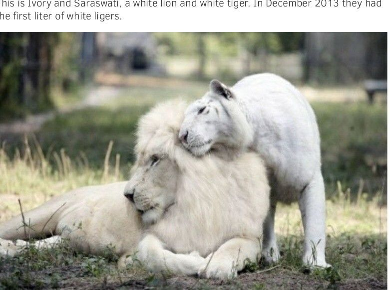 These two a white lion and a white tiger had little cubs